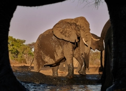 african-elephant-4477-botswana-copyright-photographers-on-safari