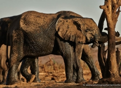 african-elephant-4478-botswana-copyright-photographers-on-safari
