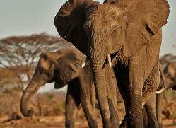 african-elephant-4479-botswana-copyright-photographers-on-safari