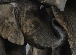 african-elephant-4481-botswana-copyright-photographers-on-safari