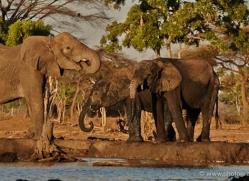 african-elephant-4482-botswana-copyright-photographers-on-safari