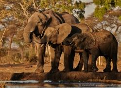 african-elephant-4483-botswana-copyright-photographers-on-safari