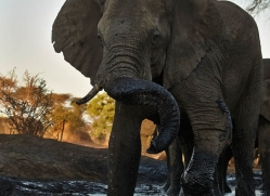 african-elephant-4484-botswana-copyright-photographers-on-safari