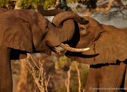 african-elephant-4485-botswana-copyright-photographers-on-safari
