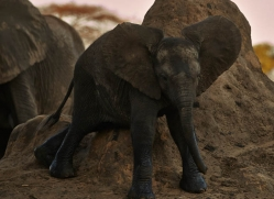 african-elephant-4486-botswana-copyright-photographers-on-safari