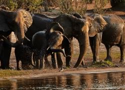 african-elephant-4487-botswana-copyright-photographers-on-safari