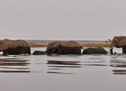 african-elephant-4489-botswana-copyright-photographers-on-safari
