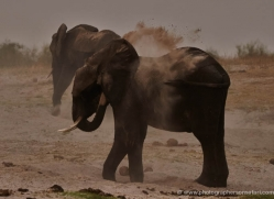 african-elephant-4490-botswana-copyright-photographers-on-safari