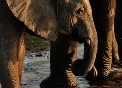 african-elephant-4491-botswana-copyright-photographers-on-safari