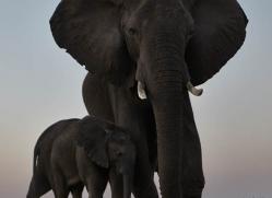 african-elephant-4492-botswana-copyright-photographers-on-safari