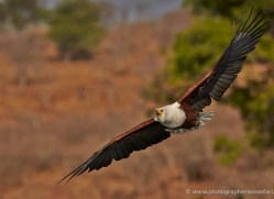 african-fish-eagle-4307-botswana-copyright-photographers-on-safari