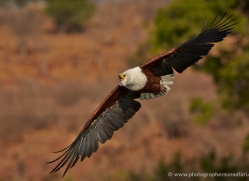 african-fish-eagle-4308-botswana-copyright-photographers-on-safari