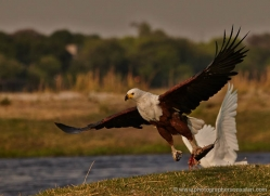 african-fish-eagle-4310-botswana-copyright-photographers-on-safari