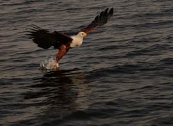 african-fish-eagle-4313-botswana-copyright-photographers-on-safari