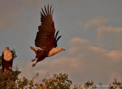 african-fish-eagle-4314-botswana-copyright-photographers-on-safari