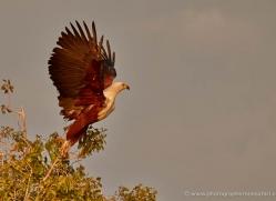 african-fish-eagle-4315-botswana-copyright-photographers-on-safari