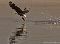 african-fish-eagle-4317-botswana-copyright-photographers-on-safari