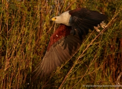 african-fish-eagle-4318-botswana-copyright-photographers-on-safari