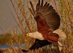 african-fish-eagle-4319-botswana-copyright-photographers-on-safari