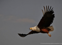 african-fish-eagle-4321-botswana-copyright-photographers-on-safari