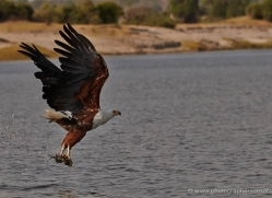african-fish-eagle-4322-botswana-copyright-photographers-on-safari