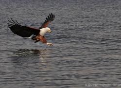 african-fish-eagle-4323-botswana-copyright-photographers-on-safari