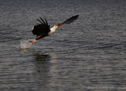 african-fish-eagle-4324-botswana-copyright-photographers-on-safari