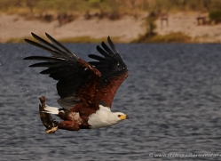 african-fish-eagle-4325-botswana-copyright-photographers-on-safari