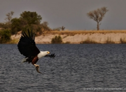 african-fish-eagle-4326-botswana-copyright-photographers-on-safari