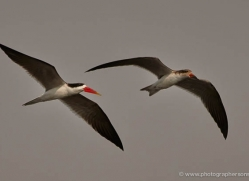 african-skimmer-4329-botswana-copyright-photographers-on-safari