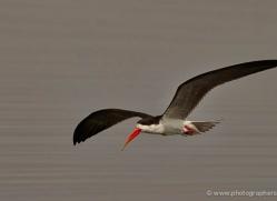 african-skimmer-4332-botswana-copyright-photographers-on-safari