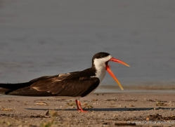 african-skimmer-4334-botswana-copyright-photographers-on-safari