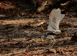 african-wattled-plover-4336-botswana-copyright-photographers-on-safari