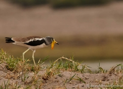 african-wattled-plover-4337-botswana-copyright-photographers-on-safari