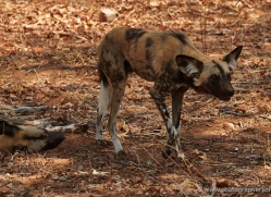 african-wild-dogs-4339-botswana-copyright-photographers-on-safari