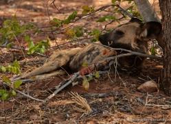 african-wild-dogs-4340-botswana-copyright-photographers-on-safari