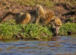 baboon-4355-botswana-copyright-photographers-on-safari