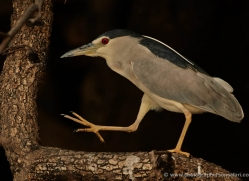 black-capped-white-heron-4351-botswana-copyright-photographers-on-safari