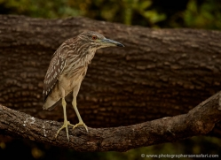 black-capped-white-heron-4352-botswana-copyright-photographers-on-safari