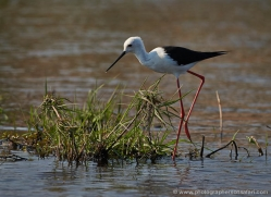 black-winged-stilt-4353-botswana-copyright-photographers-on-safari