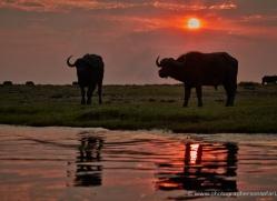 buffalo-4297-botswana-copyright-photographers-on-safari