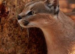 caracal-4342-botswana-copyright-photographers-on-safari