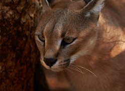 caracal-4343-botswana-copyright-photographers-on-safari