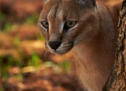caracal-4344-botswana-copyright-photographers-on-safari