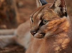 caracal-4348-botswana-copyright-photographers-on-safari
