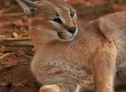caracal-4349-botswana-copyright-photographers-on-safari