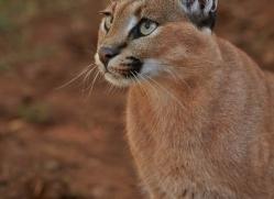 caracal-4350-botswana-copyright-photographers-on-safari