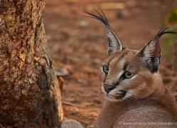 caracal-4383-botswana-copyright-photographers-on-safari