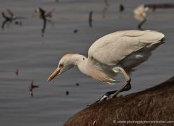 cattle-egret-4577-botswana-copyright-photographers-on-safari