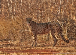 cheetah-4356-botswana-copyright-photographers-on-safari